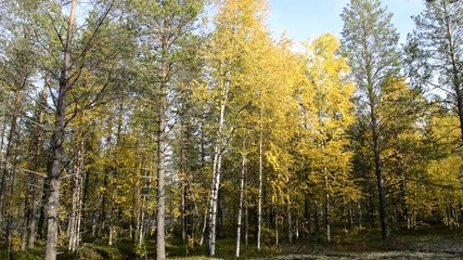 autumn forest in the north of Siberia