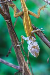 Lizard  changing skin resting on wood horizontal