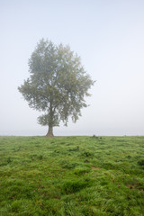 Solitary tree on a misty morning