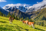 Alpine landscape in Austria with cows on meadow - 71408081