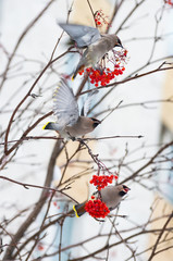 Flock of birds eat frozen rowan