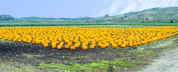 many big pumpkins at the field
