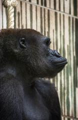 Western lowland gorilla (Gorilla gorilla gorilla) portrait