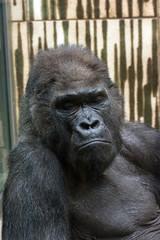 Western lowland gorilla - sad expression