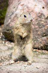 The European ground squirrel (Spermophilus citellus)