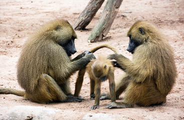 Guinea baboon family (Papio papio)