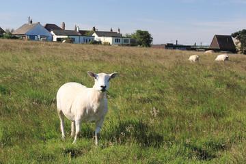 pecore allevamento in inghilterra