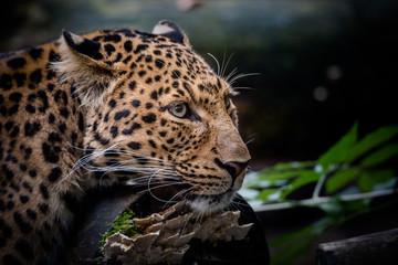 Super Scharfe Aufnahme Leopard bedrohte Art