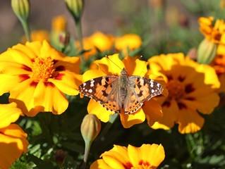 Бабочка репейница на цветах