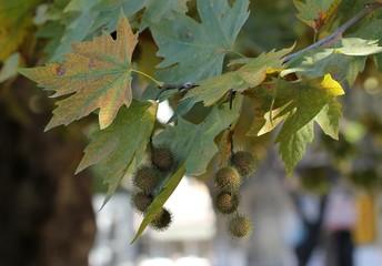 Платан. Листья и плоды