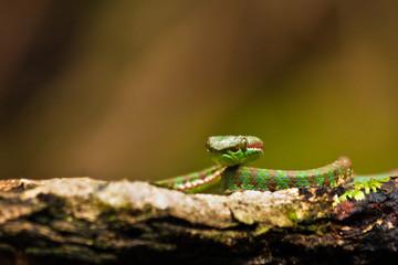 Pit Viper in the Phuket Jungle