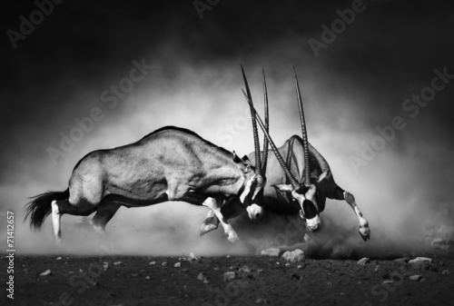 Deurstickers Foto van de dag Gemsbok fight