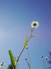 daisy shot against the sky