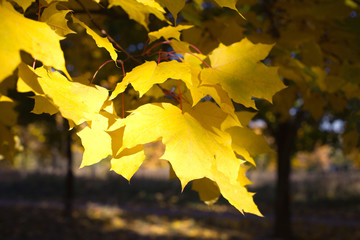 Many yellow maple leaves on a tree in golden autumn closeup