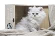 Perser Kitten, Perserkatze