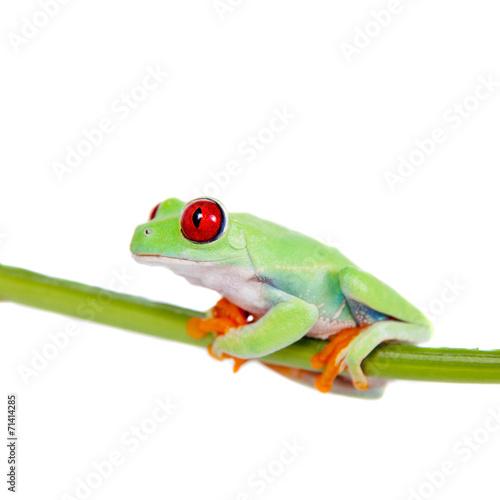 Foto op Plexiglas Kikker Beautiful red eyed tree frog on white background