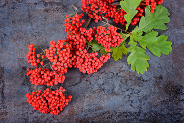 Bunch of red rowan berries and oak leaves