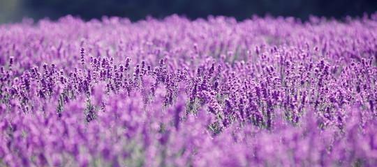 Purple lavender flowers in the field