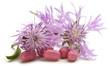 Centaurea cyanus Cornflower Fiordaliso Bleuet des champes