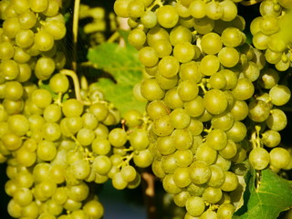 wine grape outdoors