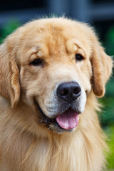 Adult yellow golden retriever stick its tongue out