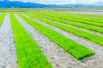 Growing rice in the paddy, Inle lake in Shan state, Myanmar