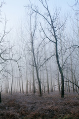 Filari di alberi nascosti dalla nebbia