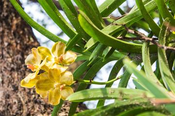 blossom yellow vanda orchid