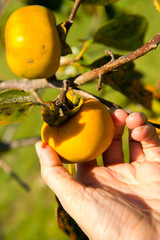 persons hand picking a ripe asian persimmon on a tree