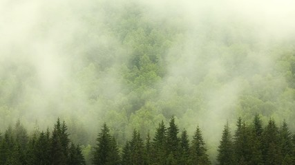 Fog and forest