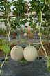 Japanese melon in fruiting stage