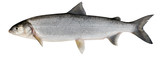 Whitefish ( Coregonus lavaretus )
