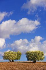 Tra Puglia e Basilicata.Paesaggio agreste:uliveto.ITALIA