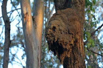 Australian Arboreal Termite colony