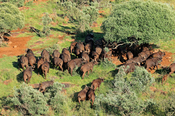 Aerial view of an African buffalo herd