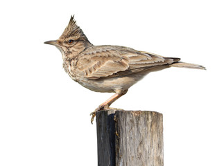 Crested Lark On White
