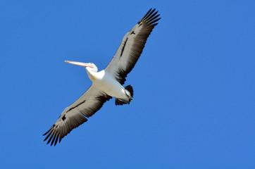 Pelican - Water Birds