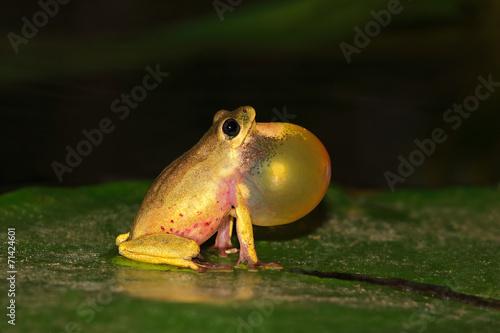 Foto op Plexiglas Kikker Reed frog calling