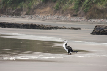 black and white shag standing on the beach