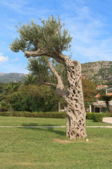 Olive tree in the park. Montenegro