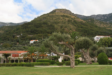 Beautiful park with olive trees. Montenegro