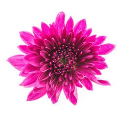 Mum flower isolated on white background