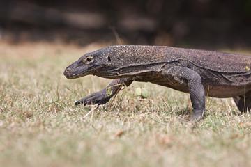 Komodo Dragon, the large lizard in Rinca island