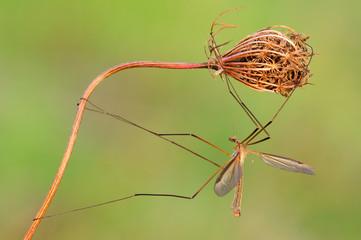 Tipula grossa zanzara