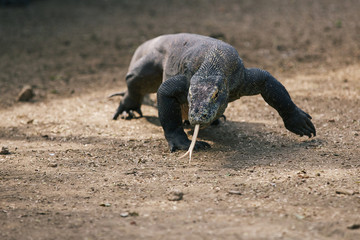 Komodo Dragon, the large lizard in Rinca island