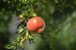 canvas print picture - Früchte am Baum Granatapfel