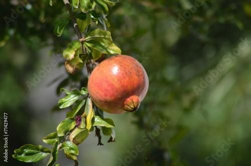 canvas print picture Früchte am Baum Granatapfel