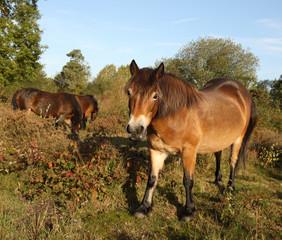 Wild Exmoor ponies walking through a common