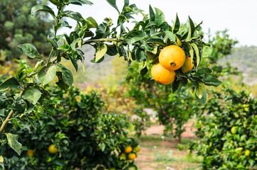 Rama de naranjas