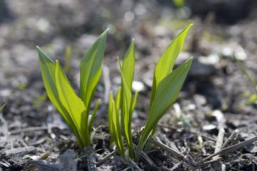 Bärlauch, Allium ursinum, erstes frisches Grün